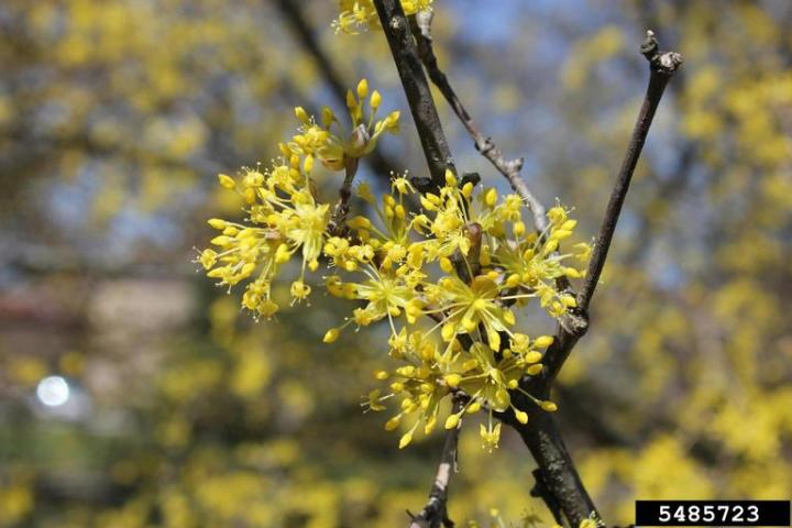 Cornelian Cherry Dogwood; Photo Credit: Denise Ellsworth, The Ohio State University, Bugwood.org