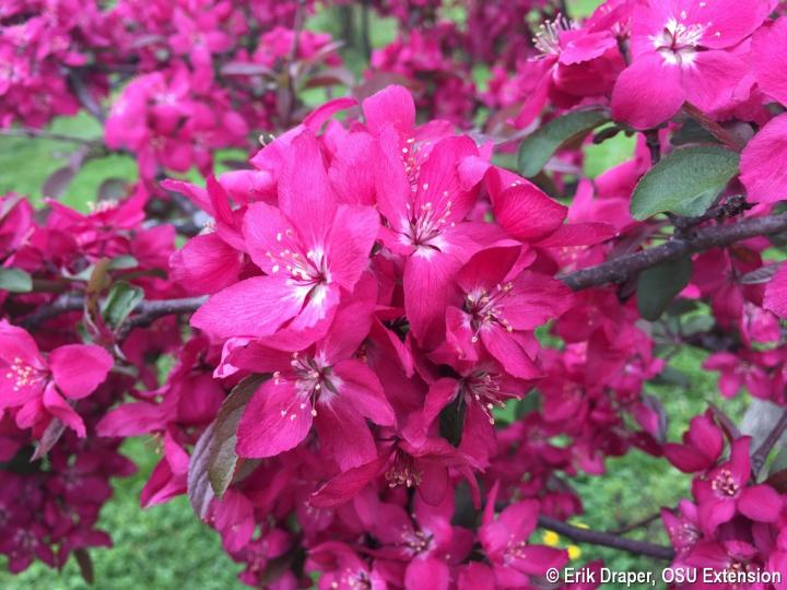 Crabapple bloom-American Masterpiece
