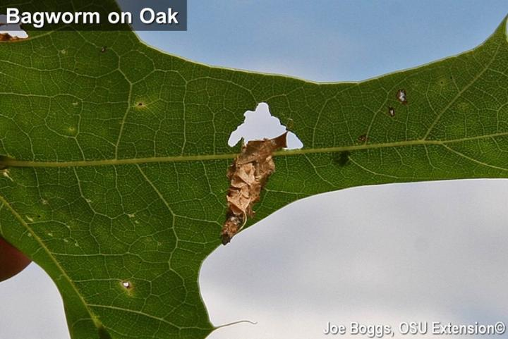 Bagworm on Oak