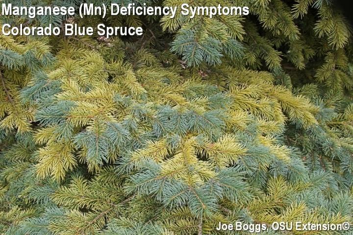 Manganese Deficiency Symptoms on Colorado Blue Spruce