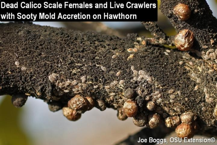 Calico Scale Crawlers