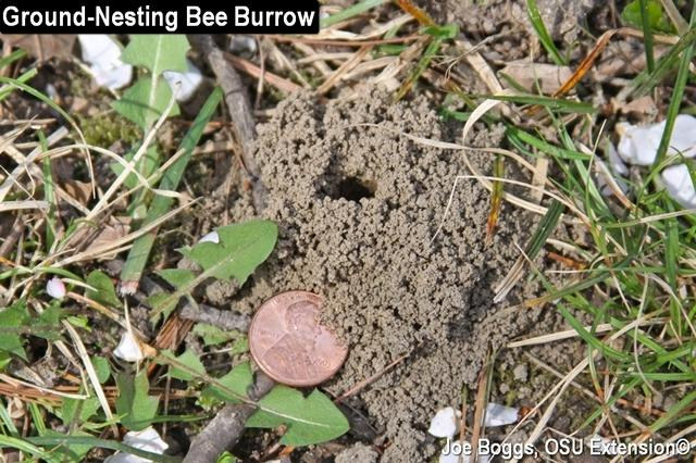 Ground Nesting Bee Burrow