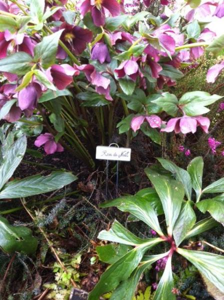 Heavenly Hellebores