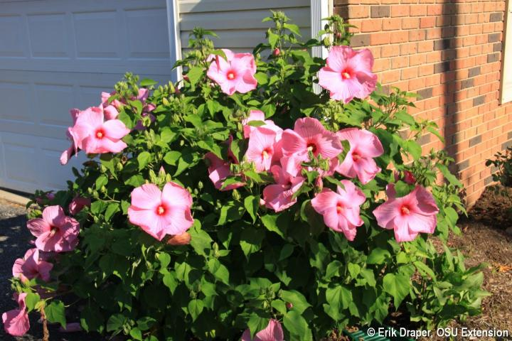 Hardy Hibiscus, 'Pink Cloud'