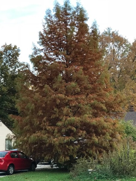 Bald cypress brown
