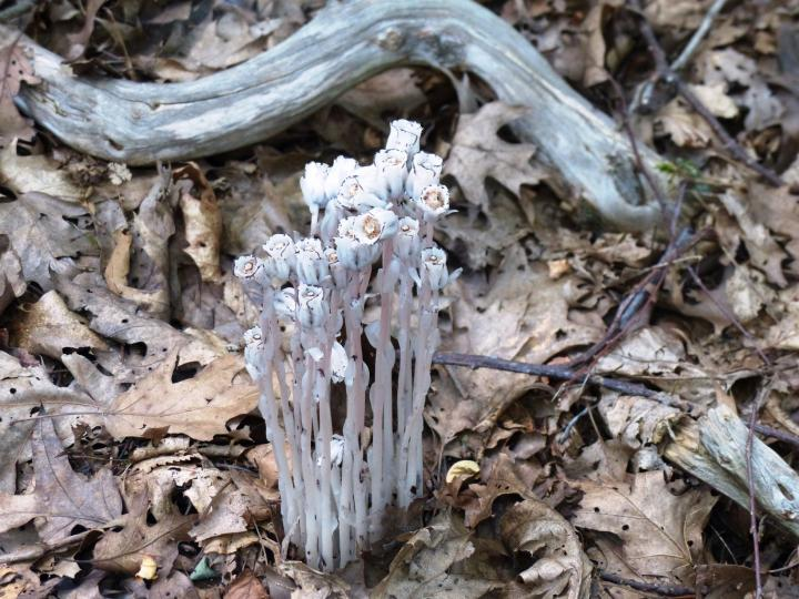 Indian pipe in VIrginia woodland