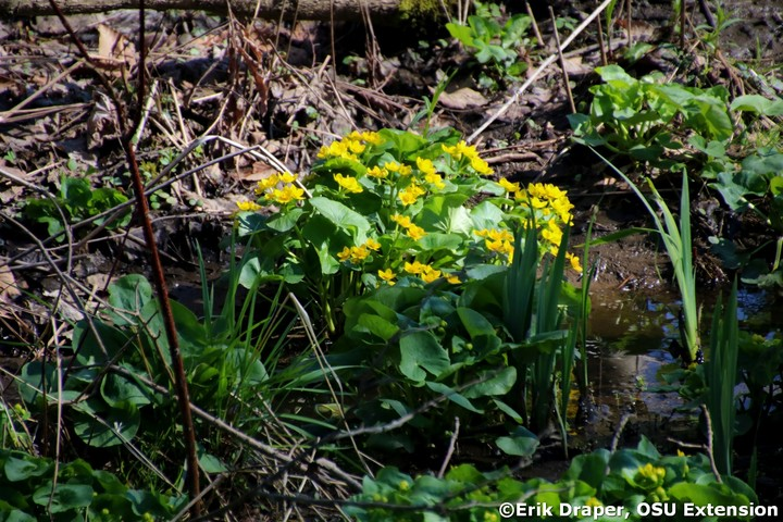 Marsh Marigold in bloom