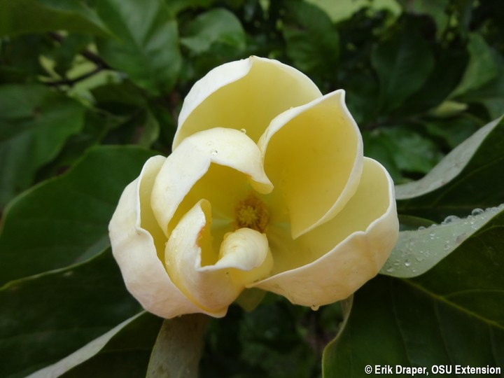 Magnolia 'Yellow Bird' blooming