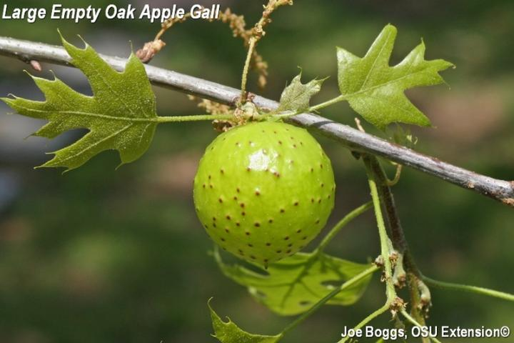 Oak Apple Wasp Galls Bygl