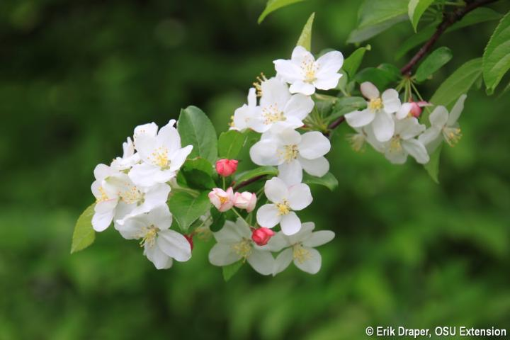 Blooms of 'Pumpkin Pie' crabapple