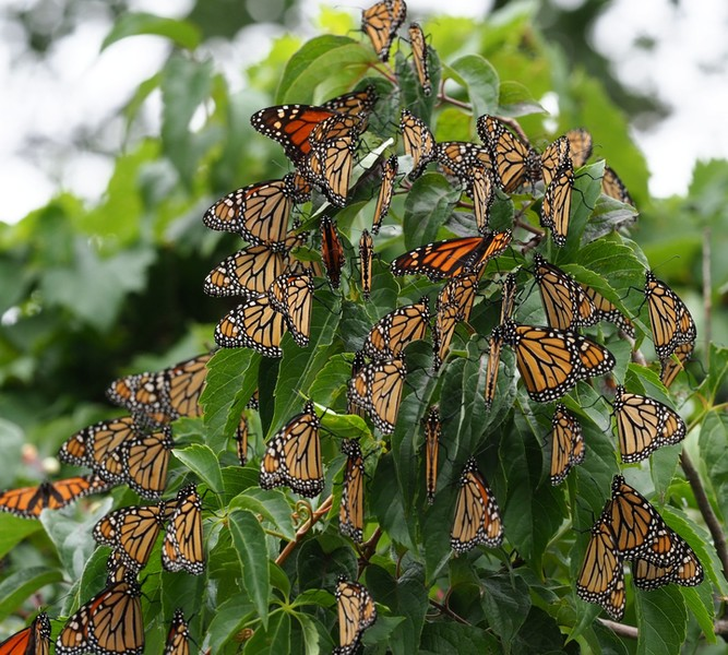 Monarch Butterflies, Photo Credit: Jackie Riley