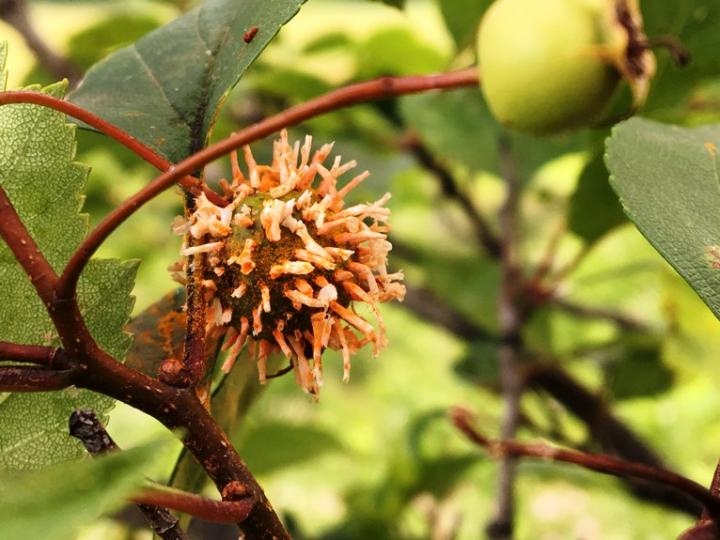 cedar quince rust on hawthorn fruit - not a gall