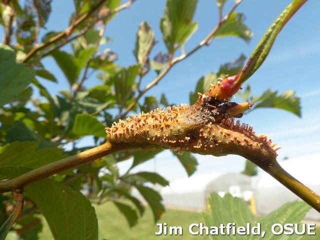 Cedar quince rust on hawthorn stem in 2014
