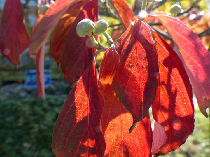 flowering dogwood fall foliage