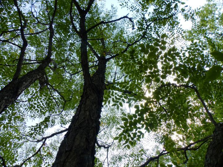 Canopy of Kentucky coffeetree