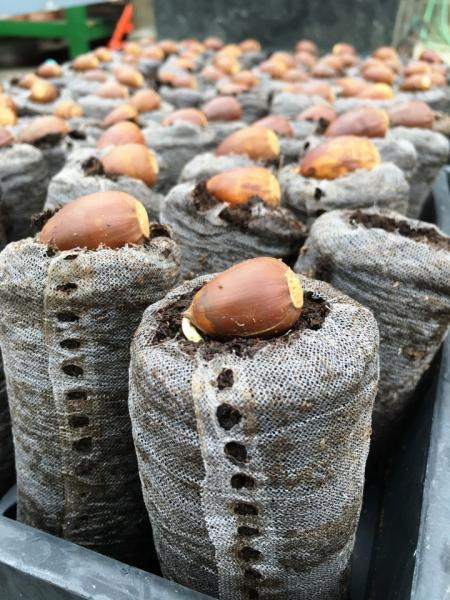 chestnut oak propagation