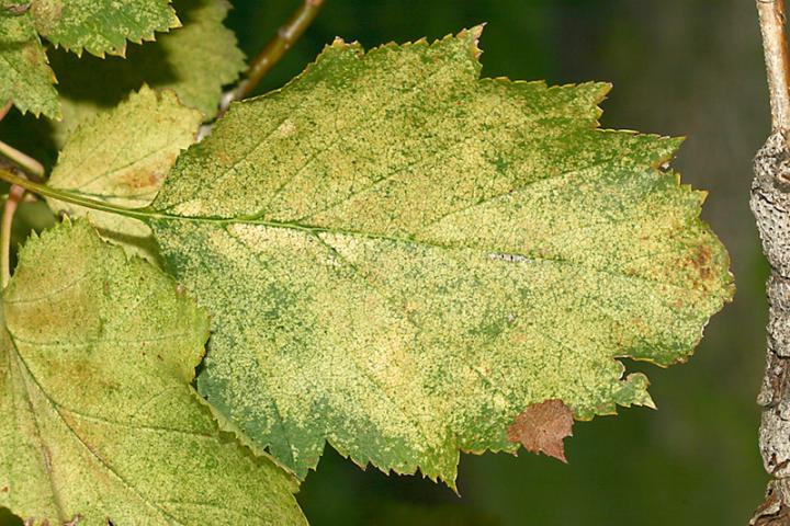 Hawthorn Lace Bug Damage to Hawthorn Leaf
