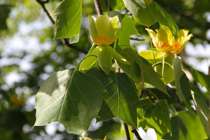Tuliptree Flower picture from Joe Boggs