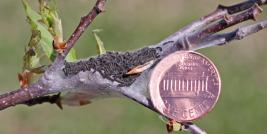 1st Instar Eastern Tent Caterpillar Nest