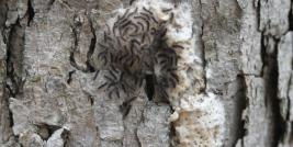 Egg Hatch of Gypsy Moth