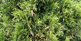 Bagworms on arborvitae