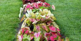 Caladium Trials at OSU