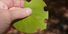 Leafcutter Bee Injury on Redbud