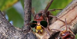 European Hornet in Shades