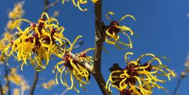 Witchhazel Yellow