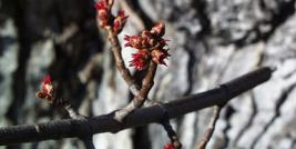 First Bloom - Silver Maple