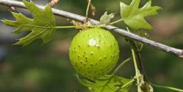 Large Empty Oak Apple Gall