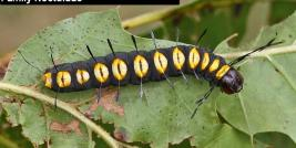 Paddle Caterpillar