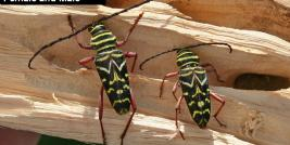 Painted Hickory Borer Female and Male
