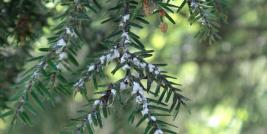 Hemlock Infested with HWA, Photo Credit: ODNR