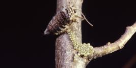 Spring cankerworm female and eggs