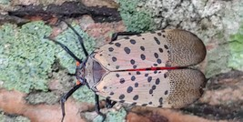 Spotted Lanternfly Adult