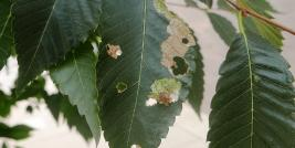 small bagworms on elm foliage
