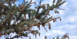 Bagworms on Colorado Blue Spruce