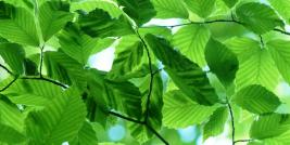 Banding on American beech leaves from Beech Leaf Disease