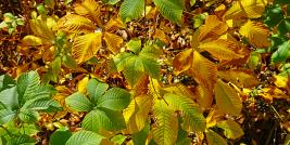 bottlebrush buckeye foliage