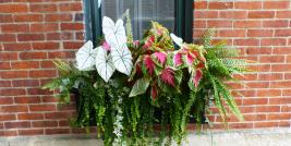 caladium and coleus in window box
