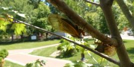 CIcada on maple twig