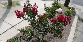 dwarf red crepe myrtle in Wooster Ohio