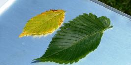 Elm yellows symptoms