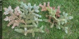 Blue spruce branches showing dieback symptoms