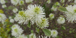 Fothergilla flowers filled with stamens