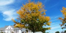Honeylocust fall color