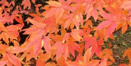 Fall Color of Acer trflorum