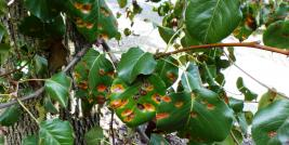 Rust on Callery pear