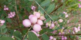 Snowberry fruits